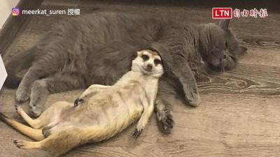 罕見跨物種友誼! 這隻狐獴超享受被貓咪舔毛