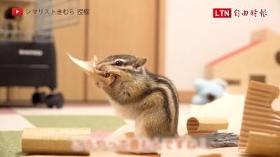 鼠界摺紙大師是你? 花栗鼠超俐落摺紙打包報紙笑翻網友