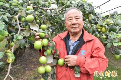 蜜棗產期延後春節前一顆都沒賣 果農開放採果減少損失