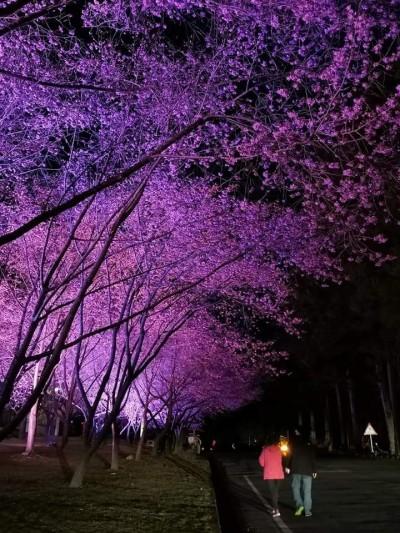 武陵夜櫻絕美 賞景地點在這裡