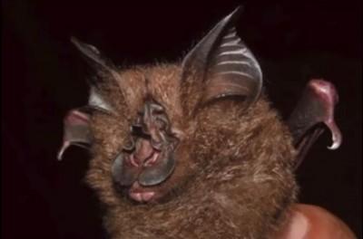 武漢肺炎》又是蝙蝠? WHO報告:新病毒與「菊頭蝠」可能有關聯