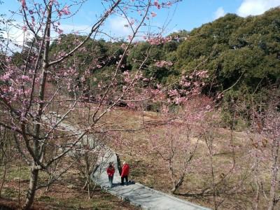 寒流搗亂高山櫻花期 福壽山場遊客少兩成