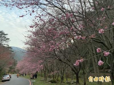遠離「口罩人生」  武陵農場櫻花向遊客招手