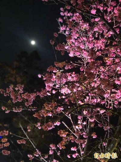 新竹公園櫻花綻放 把握二月底賞櫻潮!