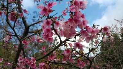 櫻花季到!新北絕美櫻花勝地 綿延數10公尺花海超浪漫