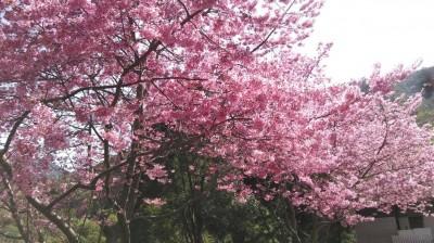 春遊賞櫻不必出國! 尖石、五峰大爆花超美