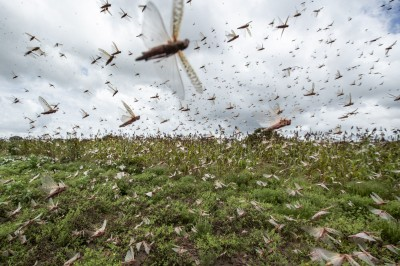 禍不單行?4000億非洲沙漠蝗蟲飛抵南亞 已達中國邊境