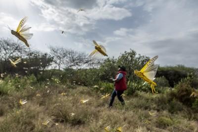 非洲蝗災進逼中國?專家分析:可能隨季風飛入雲南