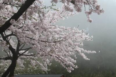 阿里山花季3/10登場  例假及連假每日限量1.6萬人