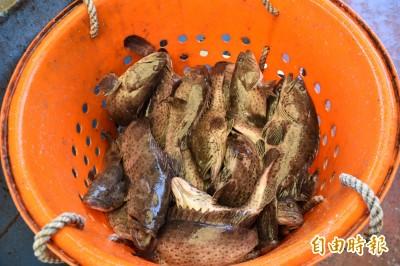 武漢肺炎》永安石斑魚銷中市場幾全斷 漁民盼1年免息貸款紓困