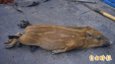 釣客遭山豬「從海中襲擊」 和豬搏鬥後壓制淹死牠...