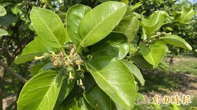 3月柚花飄香 台南麻豆文旦今年提早3週開花看產量