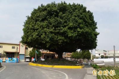 埤頭樹王樹齡25年有如百年老榕 形美冠大還護鄉土