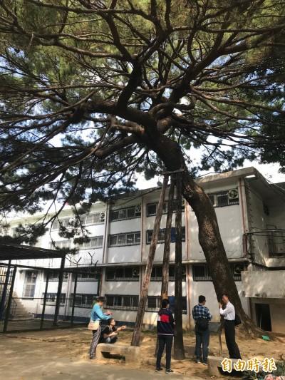 新竹靖盧百年黑松及珍貴紅淡比樹群將獲列管保護