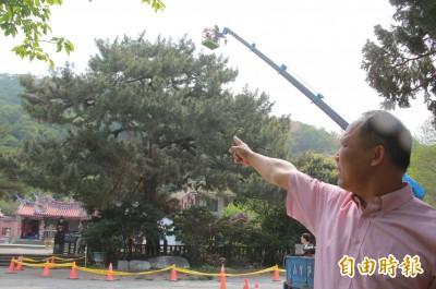 點滴高掛9公尺!300年二葉松舊病復發 出動吊車救命