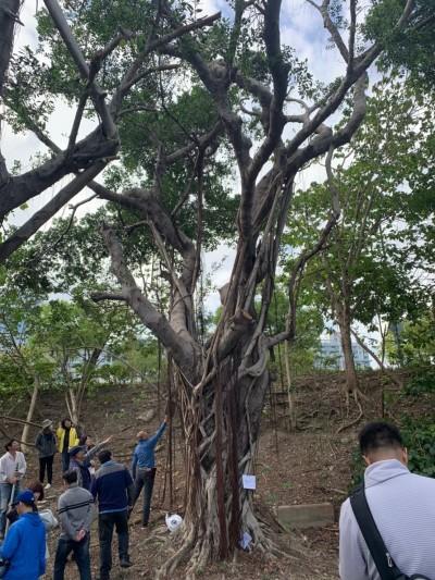 胸徑96公分老榕樹、樹齡逾50年二葉松 新北認列珍貴樹木