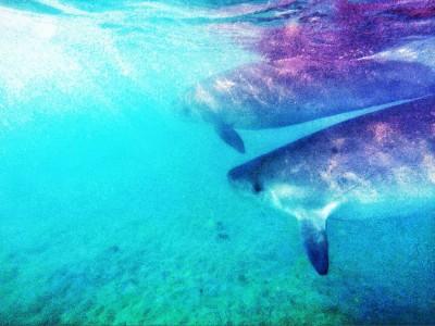 海豚到墾丁度假?侏儒抹香鯨漂浮南灣 獸醫:生病恐擱淺