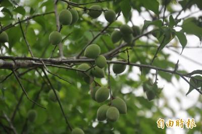 清明時節台東梅子採收 農糧署鼓勵賞梅吃梅