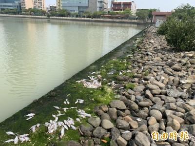 安平運河撈起近1公噸死魚 議員籲雨污分流改善