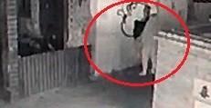 影像曝光!鹿港老街出現「半夜塗鴉客」畫幅「神秘狗」只要3分鐘