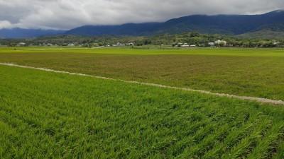 伯朗大道綠油油稻田有大片變色! 竟是嚴重稻熱病
