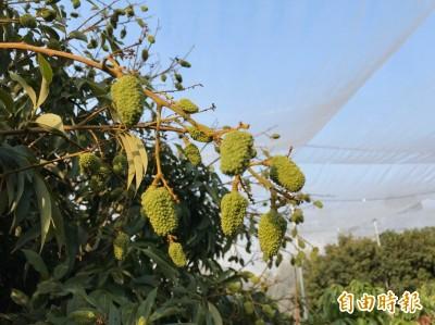 不等韓國瑜 農委會推水果包機銷日