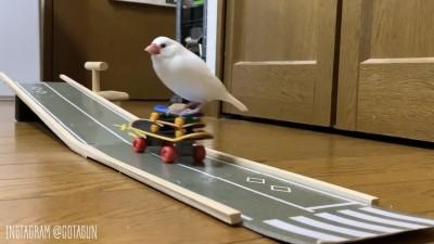 鳥界滑板大師是你? 白文鳥超熟練溜滑板萌翻網友