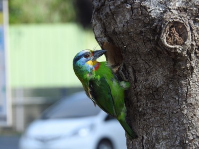 基隆海科館「鳥事」多  五色鳥接連來築巢