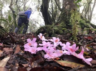 霧裡尋訪花中西施 紅石林道美呆了
