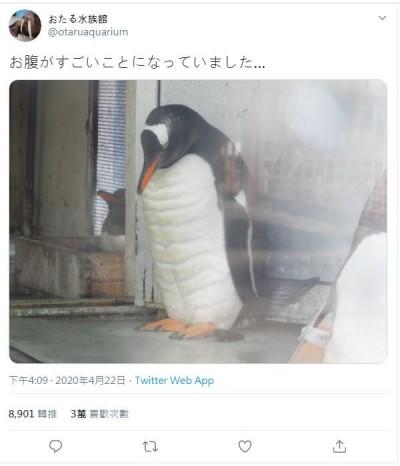 休館放假練肌肉? 日企鵝驚見20塊「腹肌」