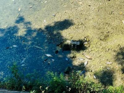 太熱加缺氧 埔里杷城大排魚群GG了
