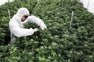 開放醫療用大麻?法務部:不影響二級毒品地位