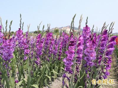 紫色劍蘭吸睛! 中社觀光花市引進新品種