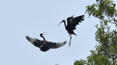 白眉秧雞、彩䴉作客 稀有迷鳥首見林邊濕地築巢