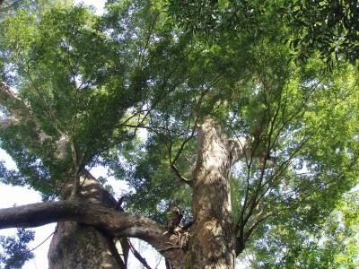 冬瓜山「千年櫸木」壽終正寢 綠蔭蔽天成追憶