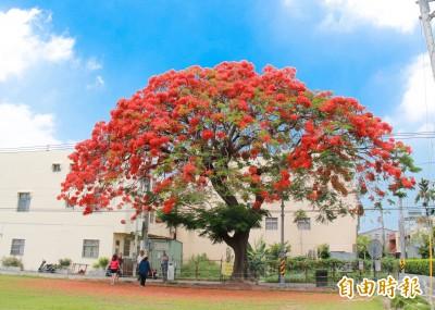 超美「紅色巨傘」! 北斗80歲鳳凰木艷紅花球炸開了