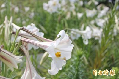 新北市復育台灣野百合 5萬花朵北海岸綻放