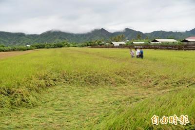 大豪雨造成水稻倒伏 農業局將以災害價收購
