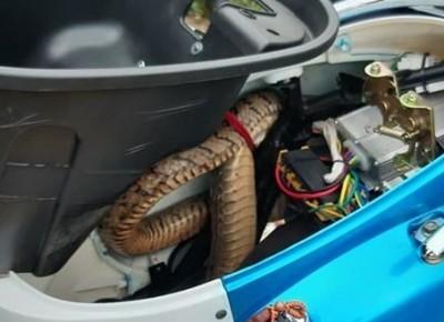 嚇死人了! 2米長臭青母鑽進電動機車內