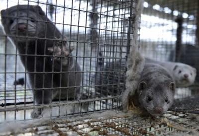 武漢肺炎》疫情未止  荷蘭出現人類遭水貂傳染病例
