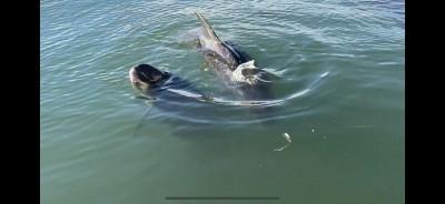 滯留高雄港7隻小虎鯨已3死 今天暴雨讓救援團隊好憂心