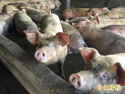 台灣豬肉可以外銷了!奮戰24年 獲OIE公告口蹄疫非疫區