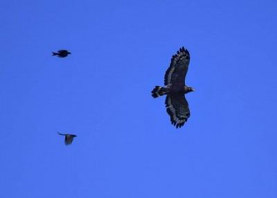 「以小欺大」奇景!強悍烏秋空襲大冠鷲
