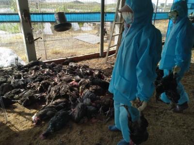 太熱了!彰化1土雞場爆禽流感 9556隻活雞全撲殺