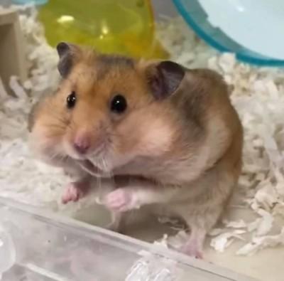 「鼠鼠吃零食」影片爆紅!我塞不下了...蠢萌表情融化眾網友