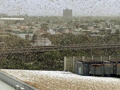 蟲群蔓延7公里!蝗災逼近印度首都新德里 持續朝東進軍