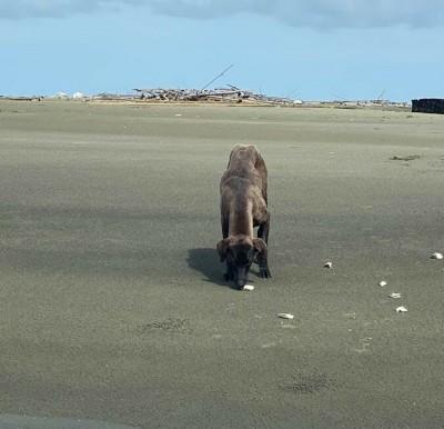 「海狗」外傘頂洲流浪1年多 救援人員:牠比人類強太多了!