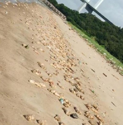 驚!東莞上萬支豬腳及內臟佈滿沙灘