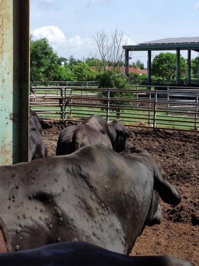 牛結節疹累計發現148頭牛出現症狀 金門今撲殺58頭