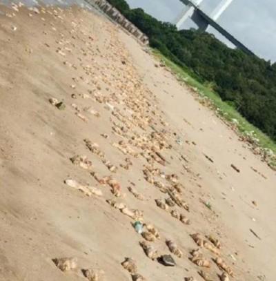 廣東證實爆發口蹄疫 中國網友驚:沙灘遍布豬腳、內臟有內幕?